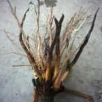 Corn Root with Rootworm damage