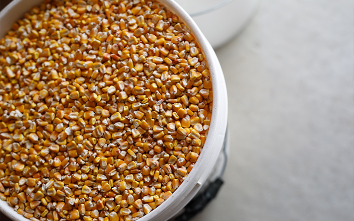 Corn in Bucket
