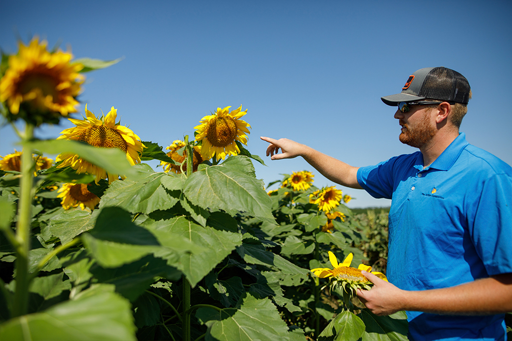 Agronomist Showing Sunflower Field