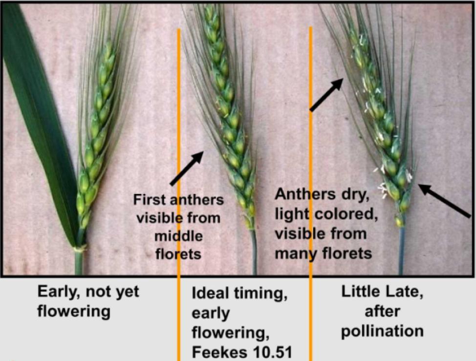 Flowering Wheat Table