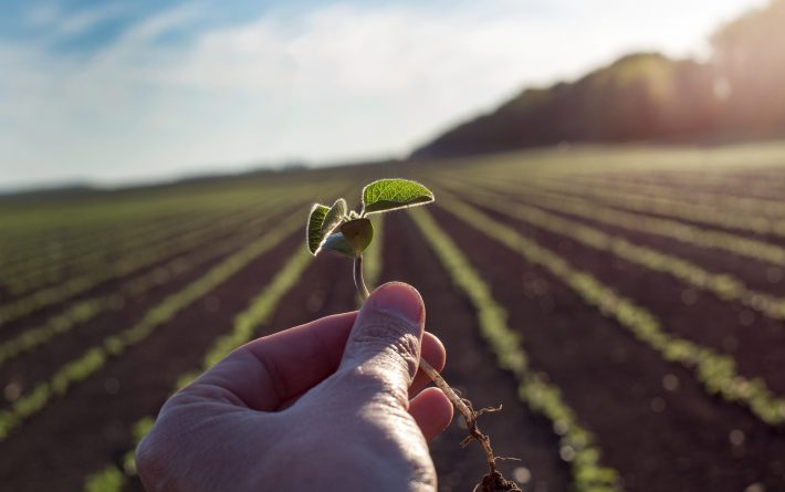 young soybean plant in hands above field